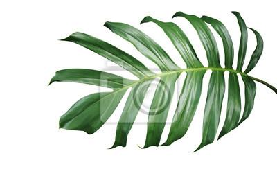 Feuille Verte Tropicale De Plante Monstera Philodendron A Feuilles