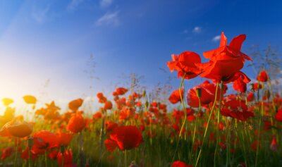 Papiers peints Field of poppies at sunrise