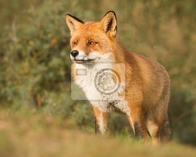 Fier renard roux mâle debout dans une forêt