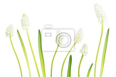 Fleur, blanc, raisin, jacinthes