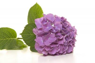 Fleur d'hortensia pourpre douce se trouvant sur un fond blanc