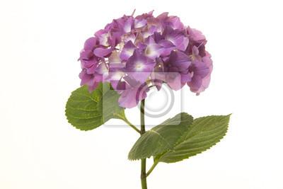 Fleur d'hortensia pourpre doux isolé sur fond blanc