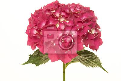 Fleur d'hortensia rose isolé sur fond blanc