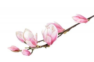 Papiers peints Fleur de magnolia branche isolée sur un fond blanc