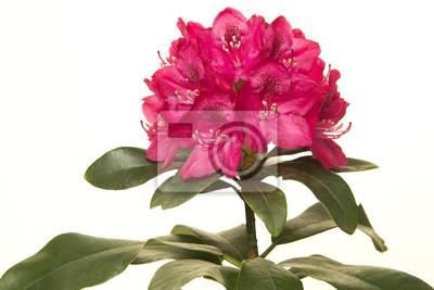 Fleur de rhododendron rose à feuilles vertes