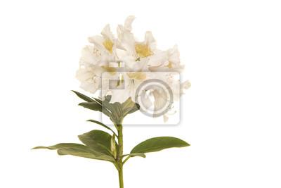 Fleur de rhodondendron blanc sur fond blanc