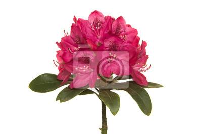 Fleur de rhodondendron rose sur fond blanc