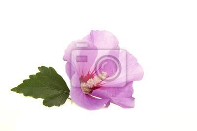 Fleur isolée rose d'hibiscus avec une feuille isolée sur fond blanc
