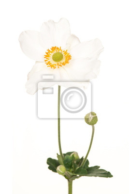 Fleurir, blanc, mexicain, aster, isolé, blanc, fond