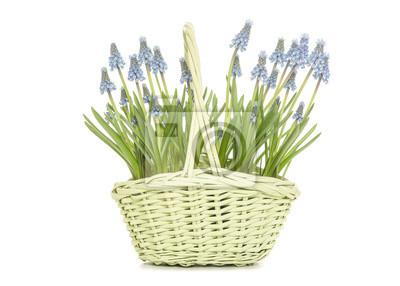 Fleurir, bleu, raisin, jacinthes, vert, osier, panier, cadeau, blanc, fond