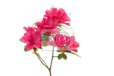 Fleurs d'azalée en fleurs roses sur une branche isolée sur fond blanc