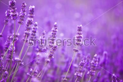 Papiers peints Fleurs dans les champs de lavande dans les montagnes de Provence.