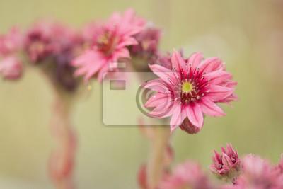 Fleurs de joubarbe roses en fleurs sur un fond naturel
