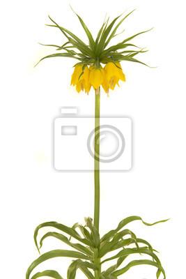 Fleurs impériales de couronne jaune floraison unique sur fond blanc