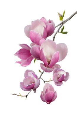 Papiers peints Floraison branche de magnolia