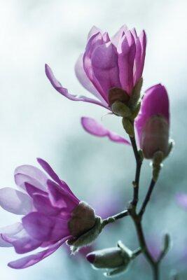 Papiers peints Floraison magnolia rose