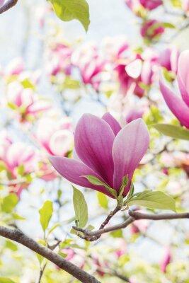 Papiers peints Floraison, rose, magnolia, fleurs, ressort, temps