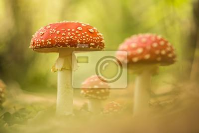 Papiers peints Fly champignons agaric debout dans une forêt en automne