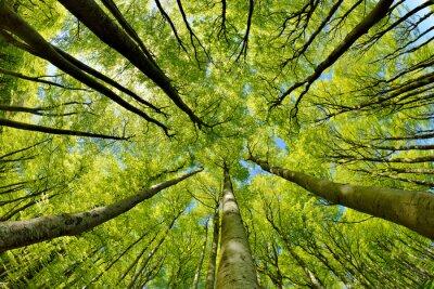 Papiers peints Forêt de hêtres au début du printemps, par le bas, feuilles vertes fraîches