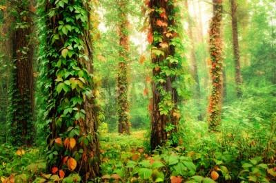 Papiers peints Forêt magique avec des troncs retranchés par des raisins sauvages grimpants colorés