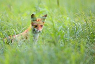 Papiers peints Fox caché dans l'herbe dans la nature