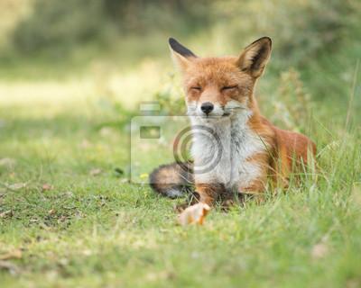 Fox Lazy détente dans l'herbe