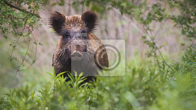 Papiers peints Front view of wild boar, sus scrofa, standing partially hidden in tall vegetation in spring forest. Wild animal in nature facing camera with copy space.