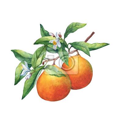 Fruits frais d'agrumes oranges sur une branche avec des fruits, des feuilles vertes, des bourgeons et des fleurs. Main, tiré, aquarelle, peinture, blanc, fond