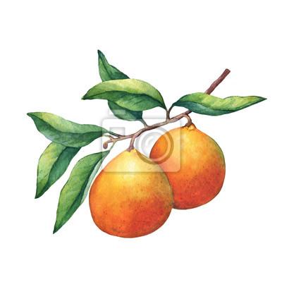 Fruits frais d'agrumes oranges sur une branche avec des fruits et des feuilles vertes. Main, tiré, aquarelle, peinture, blanc, fond