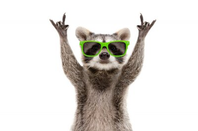 Papiers peints Funny raccoon in green sunglasses showing a rock gesture isolated on white background