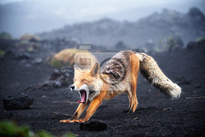 Papiers peints Funny red fox stretches. Concept - funny animals in the wild
