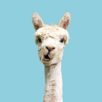 Papiers peints Funny white alpaca on blue background