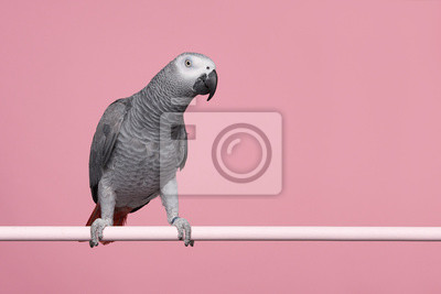 Gabon African grey parrot on a pink background with space for copy seen from the side