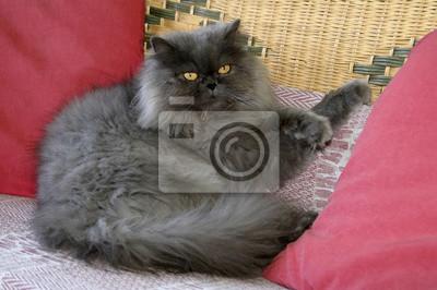 gatto Persiano felino domestico castelvetro di Modena