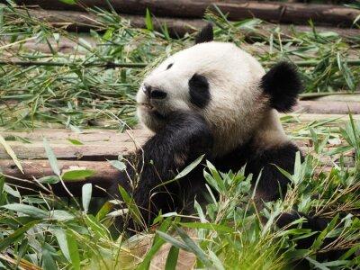 Papiers peints Géant, panda, manger, bambou, Chengdu, Sichuan, province ...