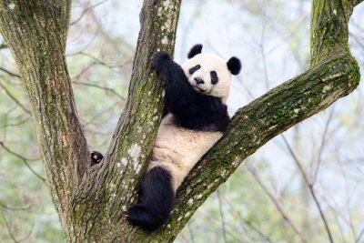 Papiers peints Géant, panda, séance, arbre, Szechuan, porcelaine