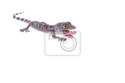 Gecko, lézard colère avec la bouche ouverte isolé au fond blanc