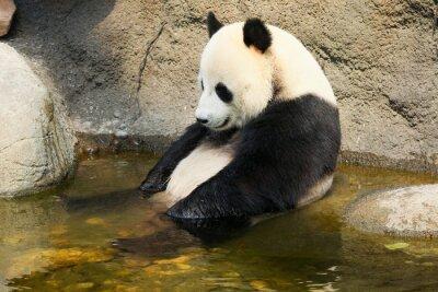 Papiers peints Giant panda sitting in water