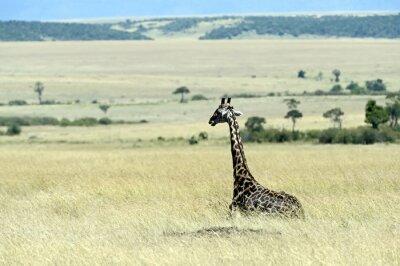Papiers peints Girafe dans la savane