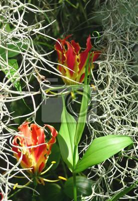 Gloriosa dans les mousses. Une des plus belles plantes appartenant à la famille des lys. Gloriosa est la gloire, la grandeur, la brillance. L'Orangerie Schoenbrunn à Vienne