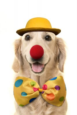 Golden retriever with a big smile dressed up as a clown on a white background