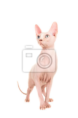 Gracious sphinx cat standing and looking up at an isolated background