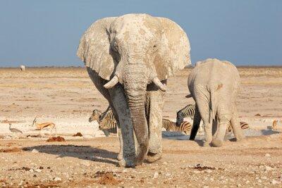 Papiers peints Grand éléphant d'Afrique (Loxodonta africana) taureau couvert de boue, Parc National d'Etosha, en Namibie.