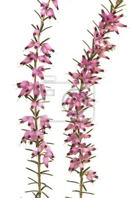 Grand plan, de, wo, bruyère, branches, floraison, à, fleurs roses, isolé, sur, a, fond blanc