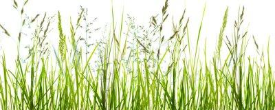 Papiers peints Gräser, grashalme, wiese vor weißem hintergrund
