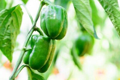 Green bell pepper plant growing in organic vegetable garden