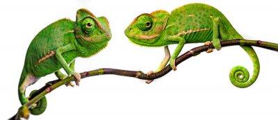Papiers peints green chameleon - Chamaeleo calyptratus