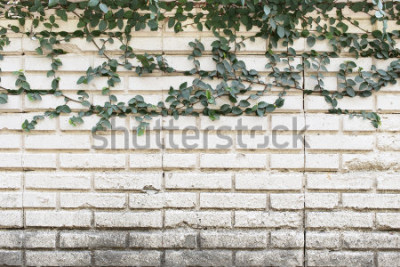 Papiers peints Green Creeper Plant poussant sur un vieux mur