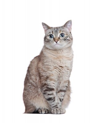 Grey tabby cat sitting against white background
