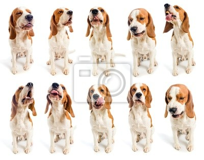 grimaces beagle